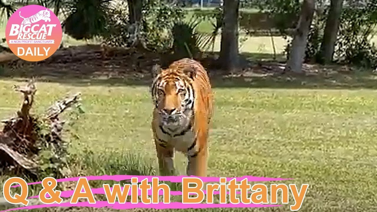 Simba Tiger goes on Vacation at Big Cat Rescue!  06 10 2021