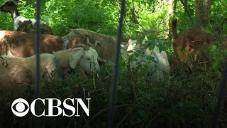 Goats put to work eating weeds in New York City