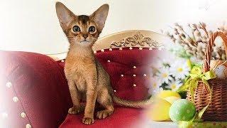 Питомнику кошек 19 лет!!! Разведение 5-ти редких пород кошек!!!
