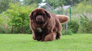 Facts About Newfoundland dog 2021   brown newfoundland dog