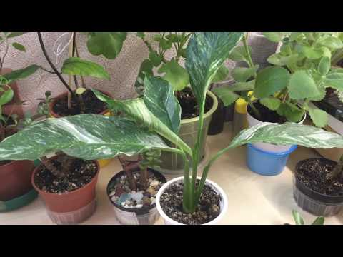 Спатифиллума Домино (часть 1)
