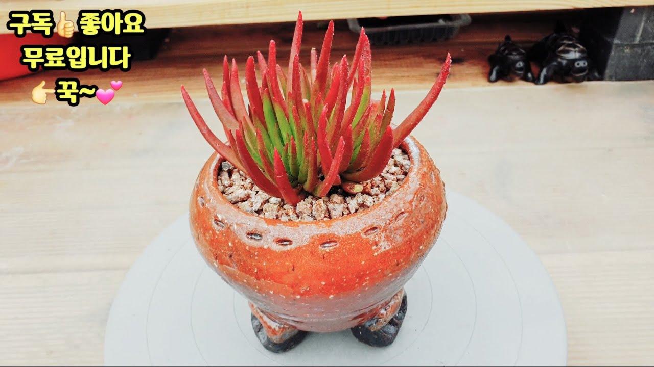 지금은 여름?  어떤 품종이 아름다운 모습을 보여줄까요?(succulent, 多肉植物)