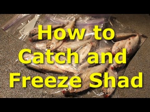 Catch Shad With Cast Net And Sonar How To Freeze Shad