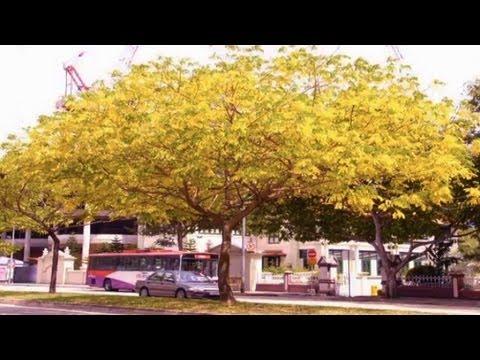Golden Rain Tree Koelreuteria paniculataYellow Flowering Trees