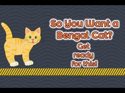 Bengal Cats React To : So You Want a Bengal Cat? (2019) - Ep.12