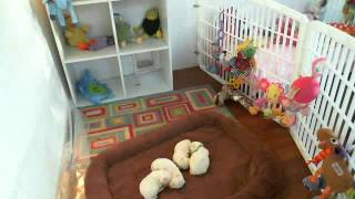 Ginger's Maltese's Webcam Video From May 25, 2012 04:03 Pm