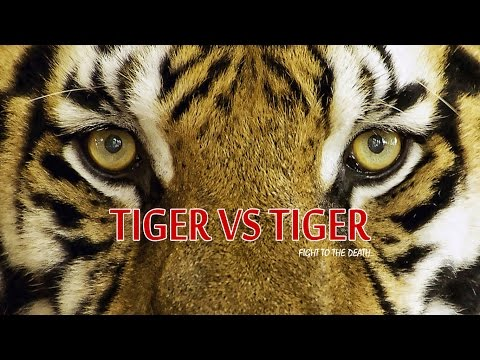Harimau Vs Harimau Pertarungan Binatang Buas Sampai Mati