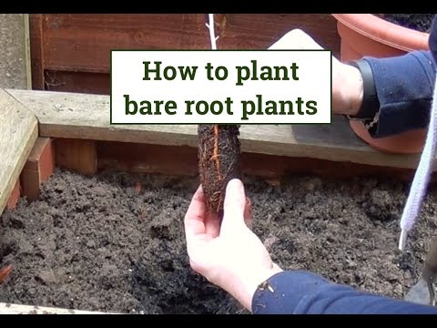 Planting & Growing a Bareroot BLACKBERRY Plant in Southern California (Part 1) from YouTube · Duration:  10 minutes 19 seconds