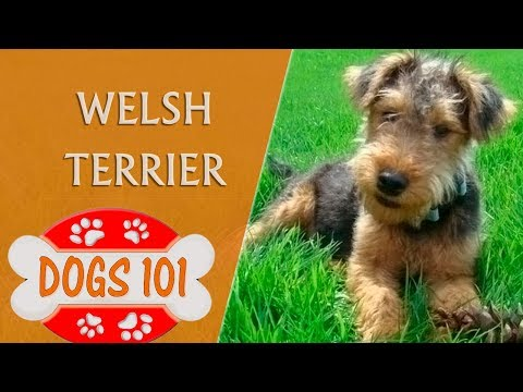 Dogs 101 - WELSH TERRIER - Top Dog Facts About the WELSH TERRIER