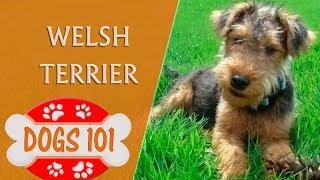 Dogs 101  WELSH TERRIER  Top Dog Facts About the WELSH TERRIER