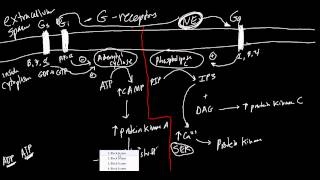 Receptors Made Simple::  Adrenergic, Cholinergic, and G Protein Basics