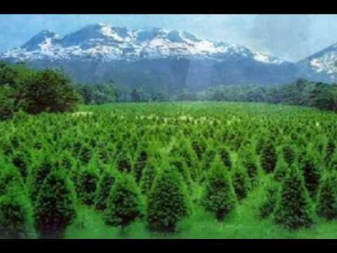 Rbol de navidad natural ecol gico youtube for Arboles de hoja perenne para clima frio