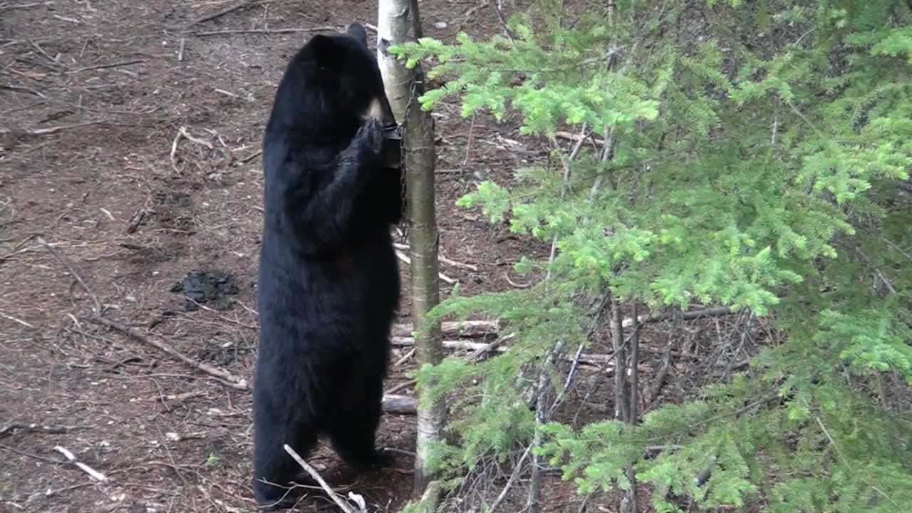 black bear at bait sites bear hunting in alberta black bear at bait sites bear hunting in alberta mike s outfitting