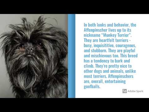 Affenpinscher Dog Breed Info