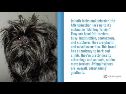 Affenpinscher Dog Breed Info