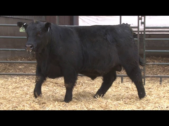 Schiefelbein Angus Farms Lot 160