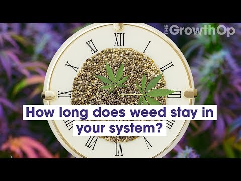 How Long Does Cannabis Stay In Your System?   Weed Easy