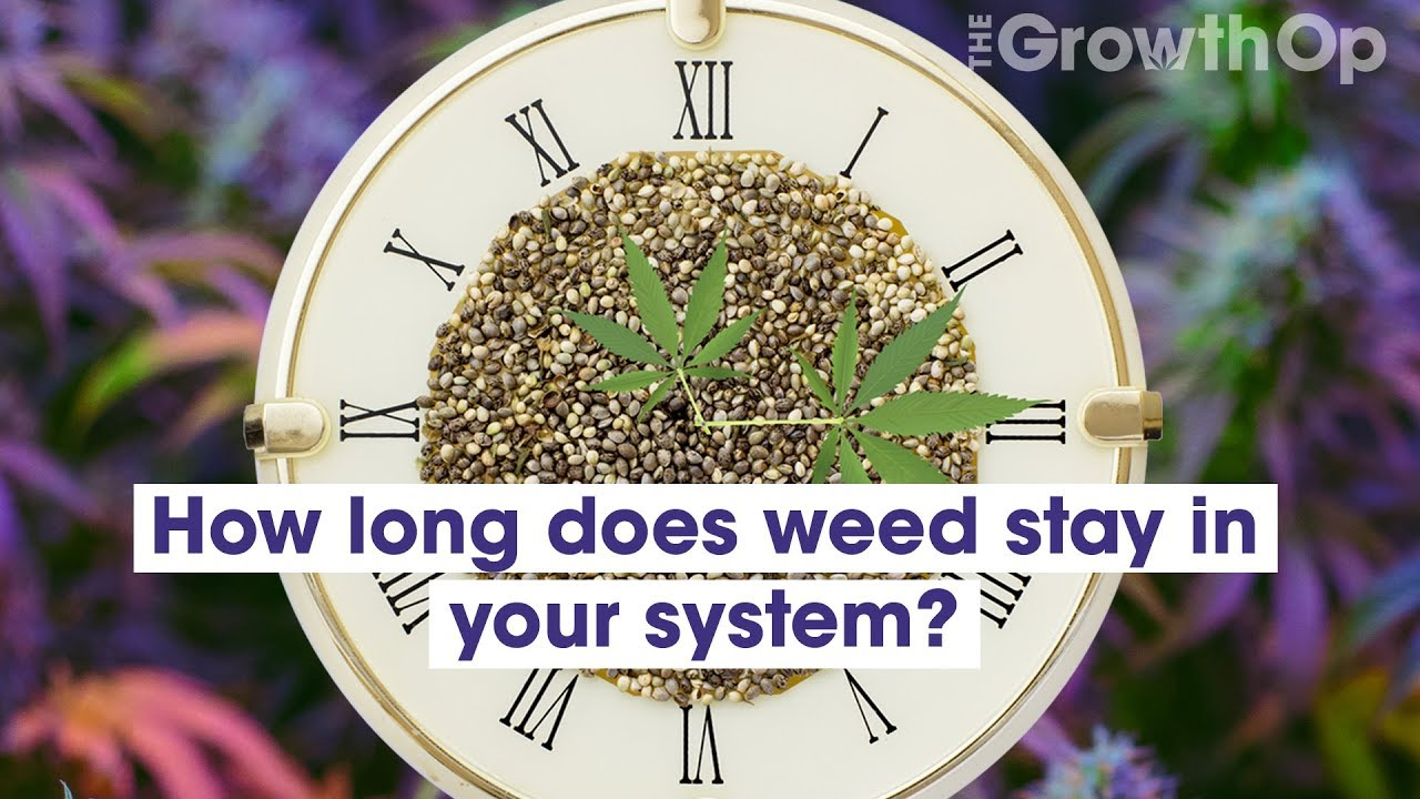 How long does cannabis stay in your system? | Weed Easy - YouTube