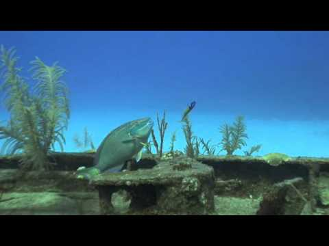 Parrotfish at cleaning station grand cayman diving video