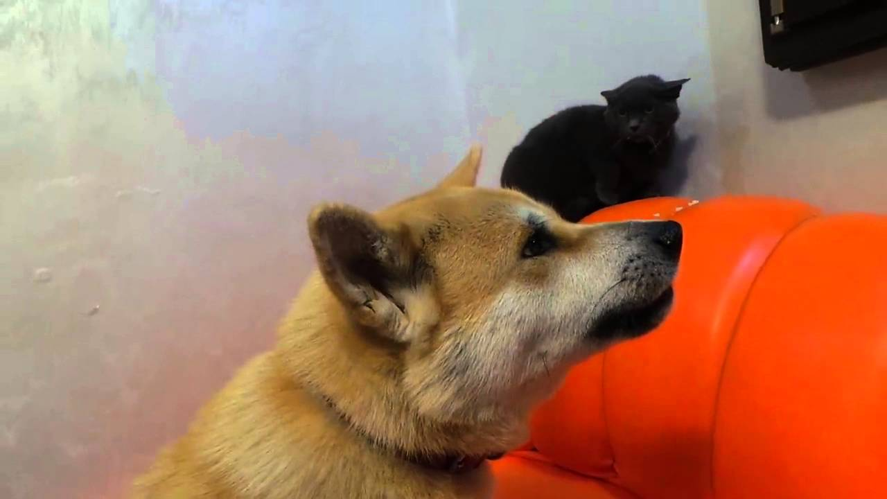 maxresdefault doly(akita inu) with meme youtube
