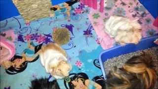 Guinea Pig Litter Boxes