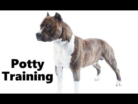 How To Potty Train An American Staffordshire Terrier Puppy Amstaff