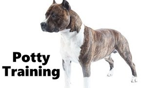 How To Potty Train An American Staffordshire Terrier Puppy - Amstaff Training - Amstaff Puppies