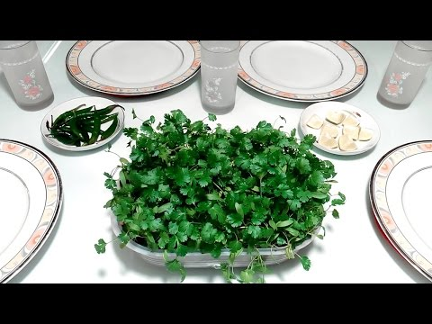 How to grow coriander or cilantro on your dining table