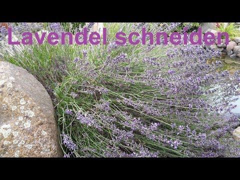 Lavendel richtig zurückschneiden - Lavendel schneiden - Wie schneide ich Lavendel Lavendula