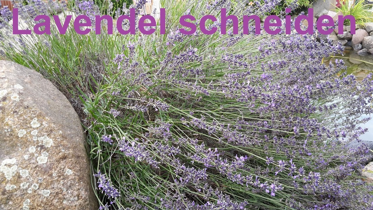 lavendel richtig zur ckschneiden lavendel schneiden wie schneide ich lavendel lavendula. Black Bedroom Furniture Sets. Home Design Ideas