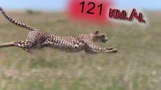 Самые быстрые животные в мире (TOP7)
