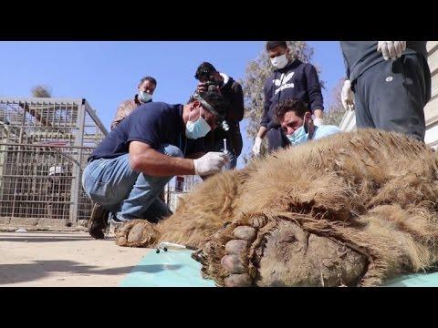 Leão e ursa sobrevivem em zoo de Mossul