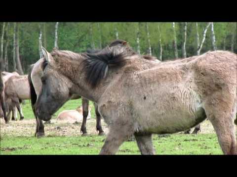 Dulmen Ponies