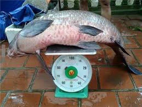 Câu cá trắm đen khủng tại Yên Thế -  Bắc Giang - - Fishing