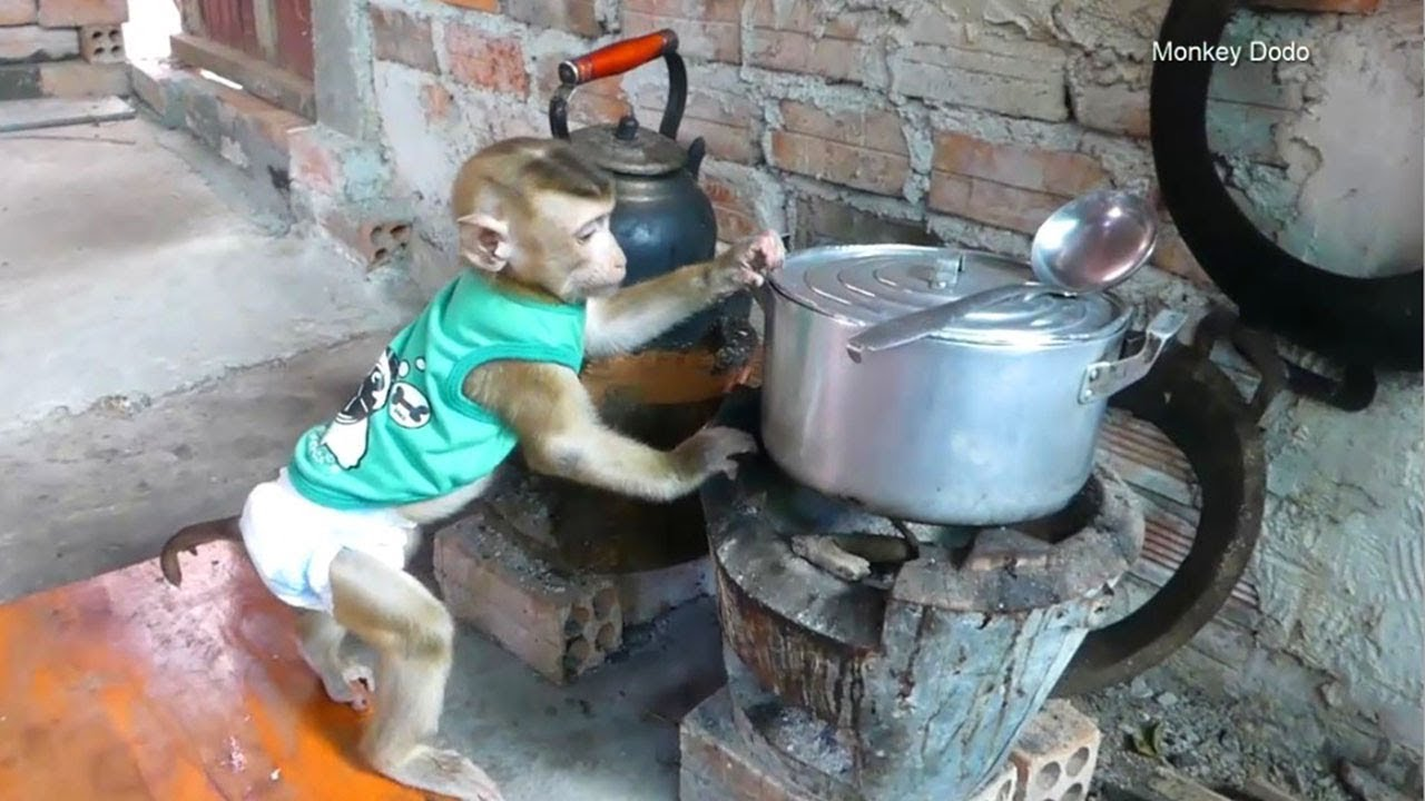 Monkey Baby Dodo!! Awesome Dodo At Kitchen He Want To Test Food In Pot