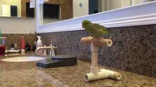 Basic parrot training. Parrotlet edition