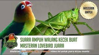 SANGAT AMPUH Walang Kecek Buat Masteran Lovebird Juara Full 1 Jam