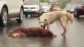 Ölen Arkadaşı İçin Hıçkıra Hıçkıra Ağlayan Köpek