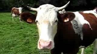 Les vaches sont au champs avec des cloches