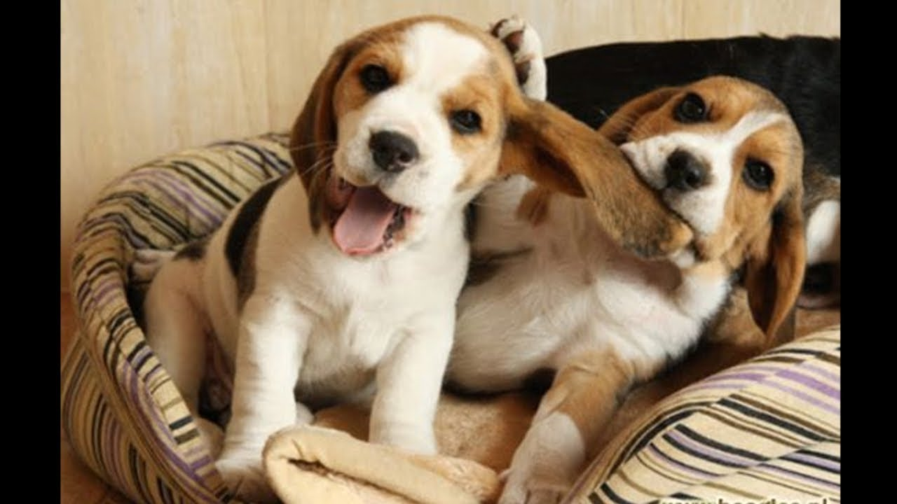 Funny And Cute Beagle Puppies Compilation 1 - Cutest Beagle Puppy