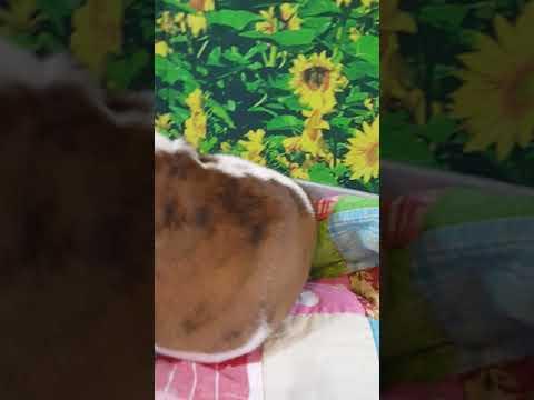 Louie 6 Week Old English Bulldog Puppy