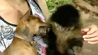 Globo Repórter: Macaco ciumento não deixa nem esposa chegar perto do dono!