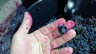 """Как приготовить вино в домашних условиях. Часть 1-ая, сорт """"Молдова"""""""