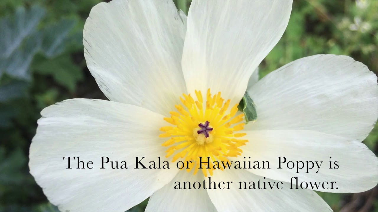 Learn About The Flowers Of Hawaii Youtube