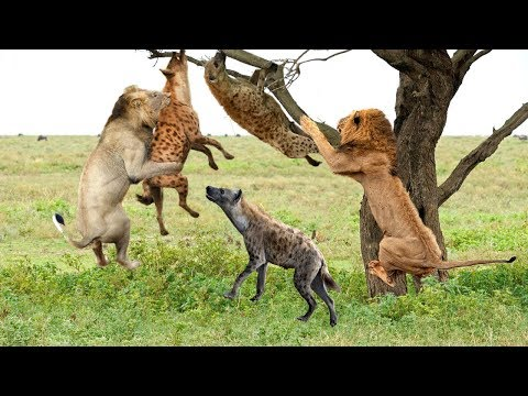 Thanks God! King Lions Destroy Hyena Stupid Go Into His Territory !