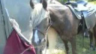 Rocky Mountain Horse Gelding