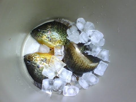 Fishing Pumpkinseed Sunfish W/ Carolina Float Rig PANFISH FISH FRY