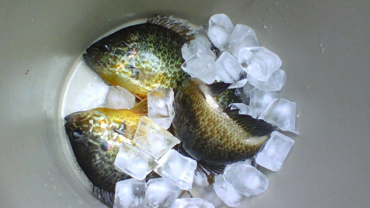 Fishing pumpkinseed sunfish w carolina float rig panfish for Carolina fish fry