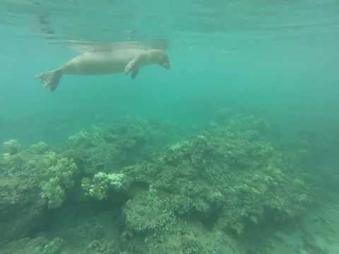 Hawaiian Monk Seal on kayak tour in Maui Hawaii