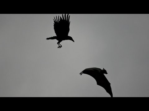 Bat and bat vs crow